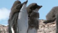 MS Shot of Adelie Penguin (Pygoscelis adeliae) adolescent chicks standing / Antarctica