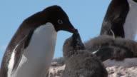 CU Shot of Adelie Penguin (Pygoscelis adeliae) Adult feeding chick twice chick pestering for food / Antarctica