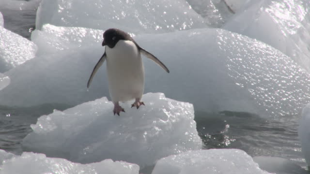 MS TS Shot of Adelie Penguin (Pygoscelis adeliae) Adult hopping over ice blocks, stumbling and falling into water / Antarctica