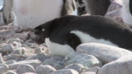 CU TU Shot of Adelie Penguin (Pygoscelis adeliae) Adult laying down on rock and closing eyes with small group / Antarctica