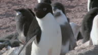 MS Shot of Adelie Penguin (Pygoscelis adeliae) Adult standing in front of adolescent chick and then walking / Antarctica