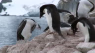 MS TS Shot of Adelie Penguin (Pygoscelis adeliae) Adults collecting rocks and placing them near chick with young shag in back side / Antarctica