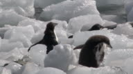MS TS Shot of Adelie Penguin (Pygoscelis adeliae) chick hopping jumping over ice blocks / Antarctica