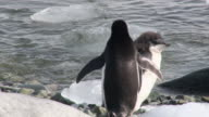 MS TS Shot of Adelie Penguin (Pygoscelis adeliae) chick running along beach and ice passing adults Falling over ice block / Antarctica