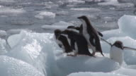 MS PAN Shot of Adelie Penguin (Pygoscelis adeliae) small group of adolescent chicks and adults standing on moving ice block and one chick is eating ice / Antarctica