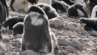 MS Shot of Adelie Penguin (Pygoscelis adeliae) small group of adolescent chicks hanging out single chick / Antarctica