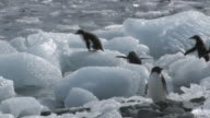 WS ZI Shot of Adelie Penguin (Pygoscelis adeliae) small group of adolescent chicks jumping on to moving ice block, stumbling, falling into water and one chick is eating ice / Antarctica