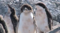 CU PAN Shot of Adelie Penguin (Pygoscelis adeliae) small group of adolescent chicks with feathers on slanting hill / Antarctica