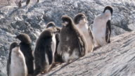 MS Shot of Adelie Penguin (Pygoscelis adeliae) small group of adolescent chicks with standing on slanting hill / Antarctica