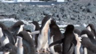 MS TS Shot of Adelie Penguin (Pygoscelis adeliae) two adolescent chicks chasing adult one chick running in circle / Antarctica
