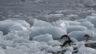 WS PAN Shot of Adelie Penguin (Pygoscelis adeliae) two adults and one chick hopping over moving ice blocks, stumbling and falling into water / Antarctica