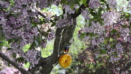 MS Shot of Adult male Baltimore oriole (Icterus galbula) pecks at orange with dab of grape jelly in flowering crabapple tree / Valparaiso, Indiana, United States