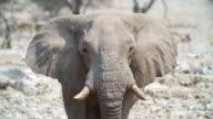 MS Shot of African Elephant and Springboks in savannah / Etosha National Park, Namibia