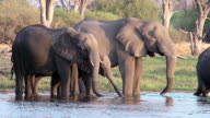 MS Shot of African Elephant (loxodonta africana) Group drinking at waterhole near Chobe River / Chobe Game Reserve, Africa, Botswana