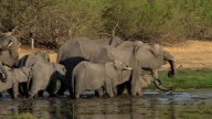 MS TS Shot of African Elephant group walking and drinking water at Khwai River / Moremi Reserve, Botswana, South Africa