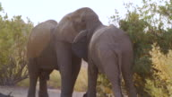 MS TS Shot of African Elephants fighting in savannah / Etosha National Park, Namibia