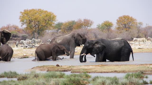 MS PAN Shot of African Elephants refreshing at water hole / Etosha National Park, Namibia