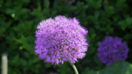 CU shot of Allium purple with honey bee nectar feeding