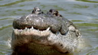 CU Shot of American Alligator in river / Paynes Prairie, Gainsville / Gatorland, Orlando, United Kingdom