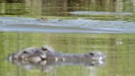 CU R/F Shot of American Alligators swimming and splashing in water / Paynes Prairie, Gainsville / Gatorland, Orlando, United Kingdom