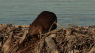MS  shot of an American beaver (Castor canadensis) crossing over a dam