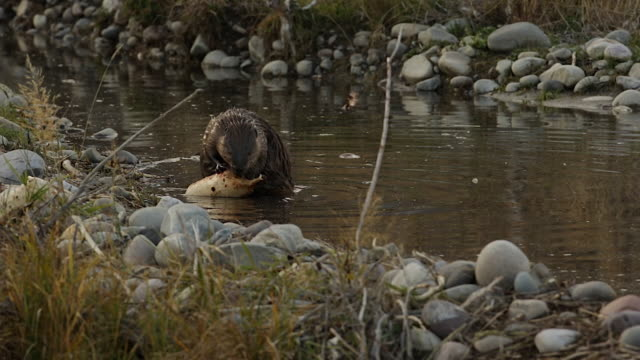 MS  shot of an American beaver (Castor canadensis) eating an aspen log while sitting on the dam