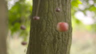 Shot of an apple and conkers swinging from strings attached to a tree.