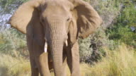 MS TS Shot of Angry African Elephants in savannah / Etosha National Park, Namibia