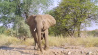 MS TS Shot of Angry African Elephants walking in savannah / Etosha National Park, Namibia