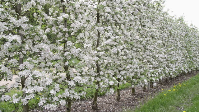MS PAN Shot of apple blossom (Malus) in flowering orchard / Merano, Tyrol, Italy