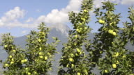 MS Shot of apple orchard in front of mountains / Merano, Trentino, South Tyrol, Italy