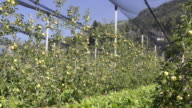 MS Shot of apple orchard under covered / Merano, Trentino, Tyrol, Italy