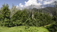 MS POV Shot of apple orchard under net against mountain in Vilpiano / Merano, Trentino, South Tyrol, Italy
