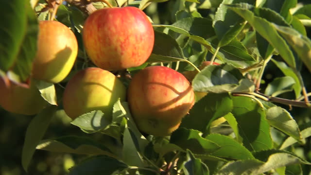 CU Shot of apples hanging from tree / South Africa