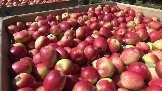 CU PAN Shot of Apples in box / Nelson, Marlborough, New Zealand