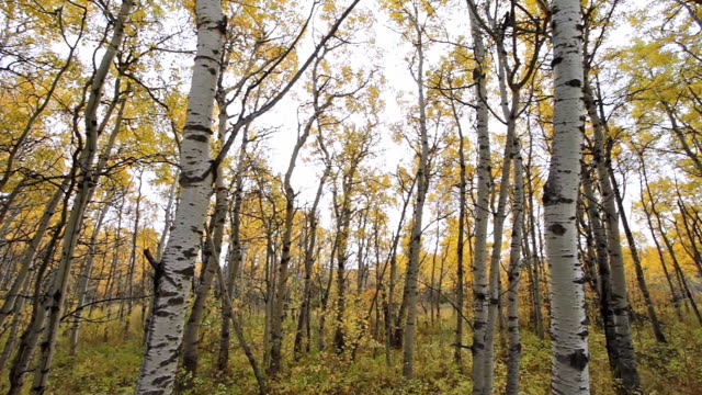 MS TD Shot of Aspen forest in autumn colors / St Mary's, Montana, United States