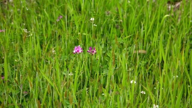 Shot of Astragalus Sinicus Wild Flower