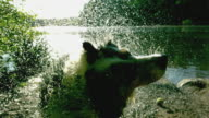 CU SLO MO Shot of Australian shepherd shaking water side by lake / Morristown, New Jersey, United States