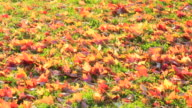 CU PAN Shot of autumn fallen leaves on grass which wave by winds at sunset / New York, United States