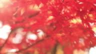 CU Shot of Autumn leaves blowing in breeze / Matsumoto, Nagano Prefecture, Japan