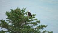 MS AERIAL Shot of bald eagle in tree / Alaska, United States