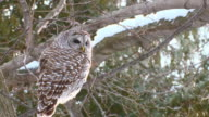 MS Shot of Barred owl resting on tree branch / Brighton, Ontario, Canada