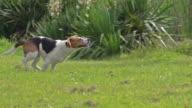 MS TS SLO MO Shot of Beagle dog, young running on grass / Calvados, Normandy, France