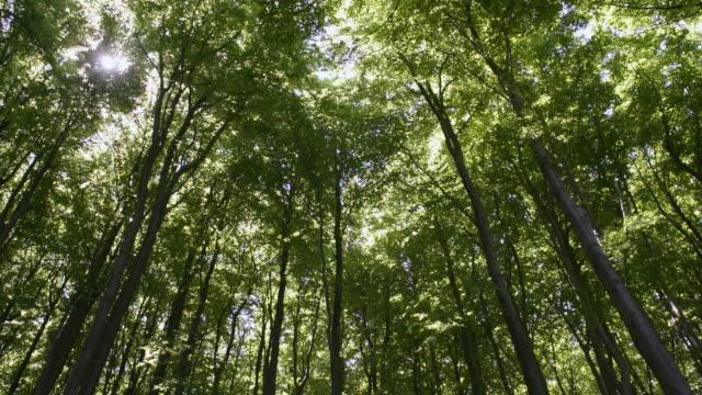MS Shot of Beech wood (Fagus) at Jasmund National park, UNESCO World Heritage Site / Sassnitz, Rugen / Mecklenburg-Western Pomerania, Germany