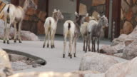 MS Shot of bighorn sheep lambs waiting in line to use outhouse / Grand Lake, Colorado, United States
