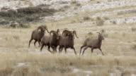 WS PL PR  shot of bighorn sheep rams (Ovis canadensis) chasing a ewe during the December rut