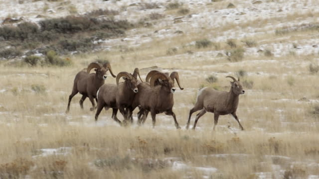 WS PL PR  shot of bighorn sheep rams (Ovis canadensis) chasing a ewe during the December rut