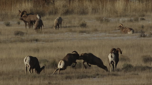 WS  shot of bighorn sheep rams (Ovis canadensis) head butting during the December rut