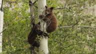 MS  shot of black bear cubs (Ursus americanus) climbing in an aspen tree