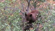 CU ZI Shot of black bear eating berries on tree / Moose, Wyoming, United States